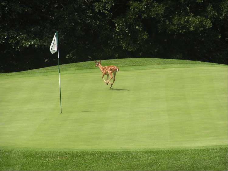 I play my share of golf out on the track chasing trail.  This deer runs across an Amana Colonies (IA) golf green.