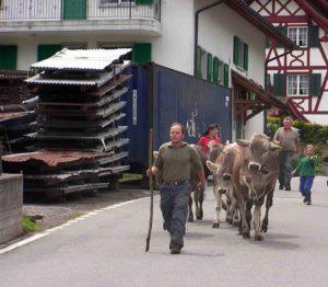 austrian-cows