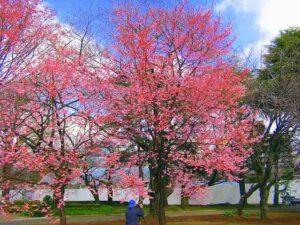 tokyo tree blooms
