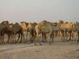 500 camels