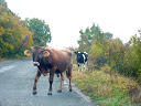 bulgarian cow on road