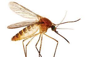 mosquito 9