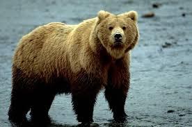 grizzley bear 34