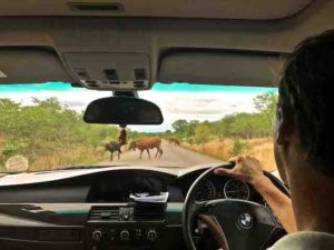 cows-on-road-to-victoria-falls
