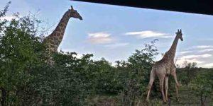 game-drive-giraffe